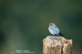 mountain-bluebird;sialia-currucoides;bird;aves;birds;perching-birds;passeriformes;songbird;songbirds;bluebirds;bluebird;sialia