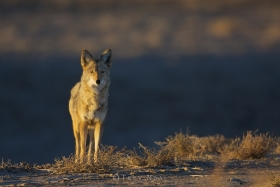 coyote;wildlife;Bosque