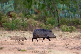 javelina-Trey-Neal-Natures-Wildscapes-wildlife