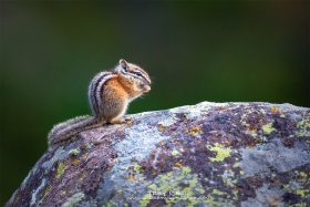 Chipmunk on a Boulder