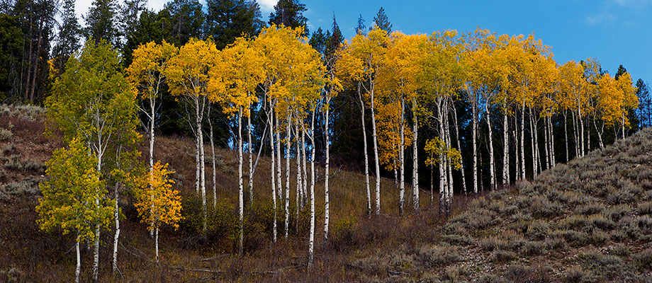 Aspens turning as Fall rapidly approaches in the Tetons