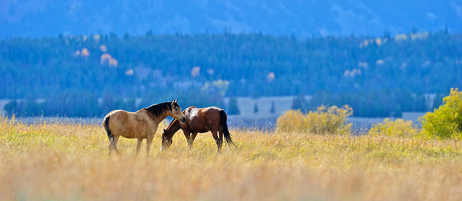 Mountain horses graze on a high meadow near Bridger - Teton National Forest
