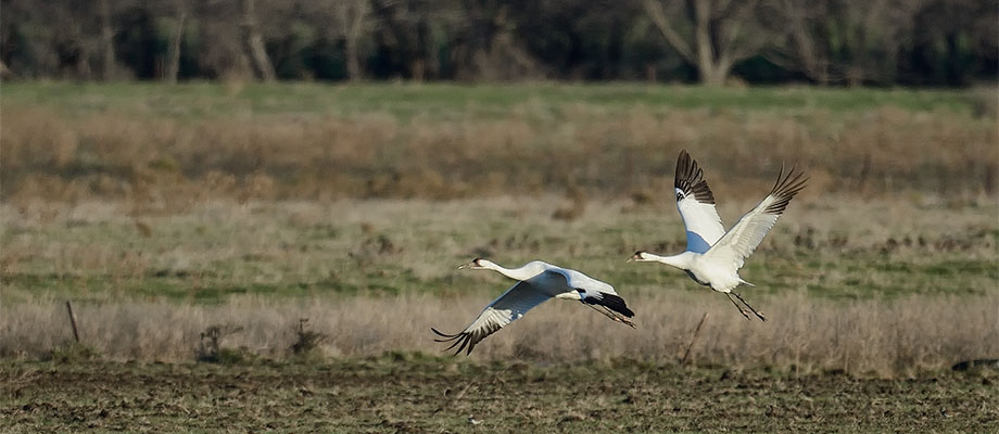 A pair of endangered whooping cranes pause for  rest on their way to their southerly migration.