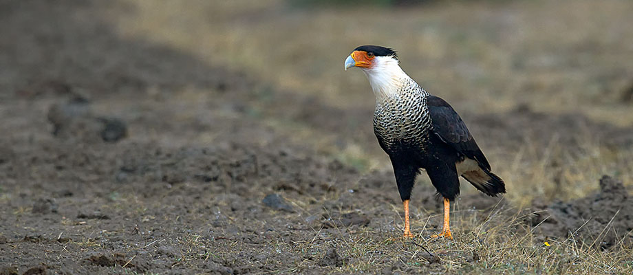 Crested caracara stops for a brief visit