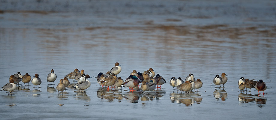 A brace of pintails await warmer weather as the surface of their pond is frozen