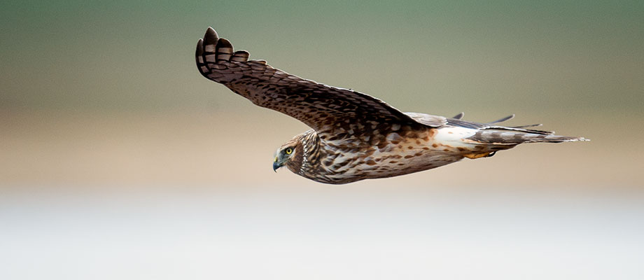 A cruising northern harrier