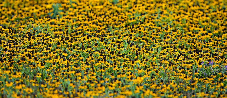 Summertime brings out the wildflowers and this field of coneflowers brings vibrant colors to the Texas landscape