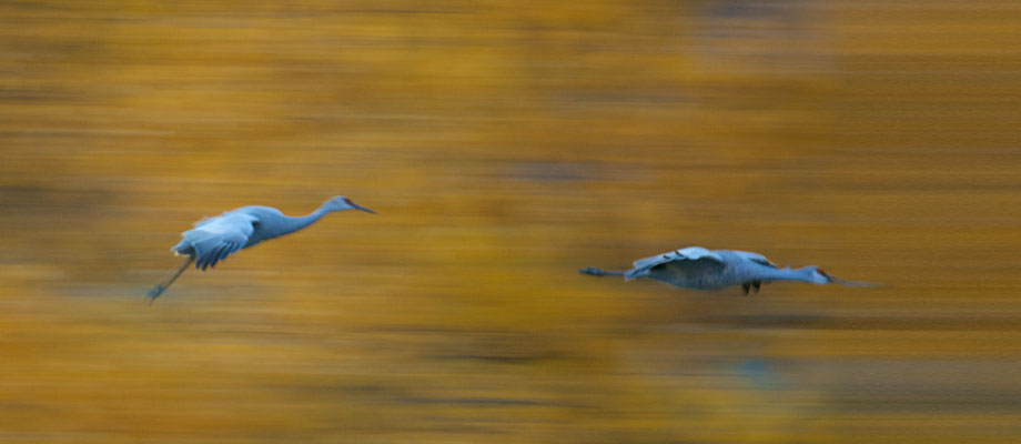 A pair of sandhill cranes make their approach to the roost late one Bosque del Apache evening
