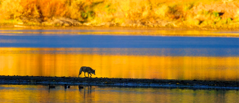 A lone coyote prowls the sand bar looking for prey