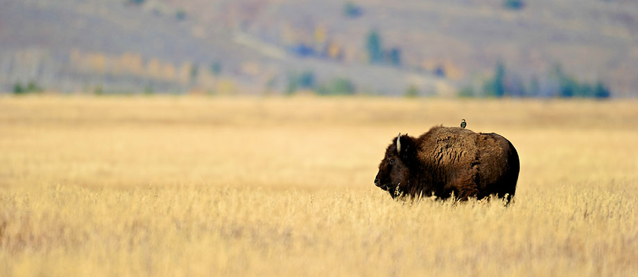 A lone bison with his travelling bird companion survey the high grass in the Tetons