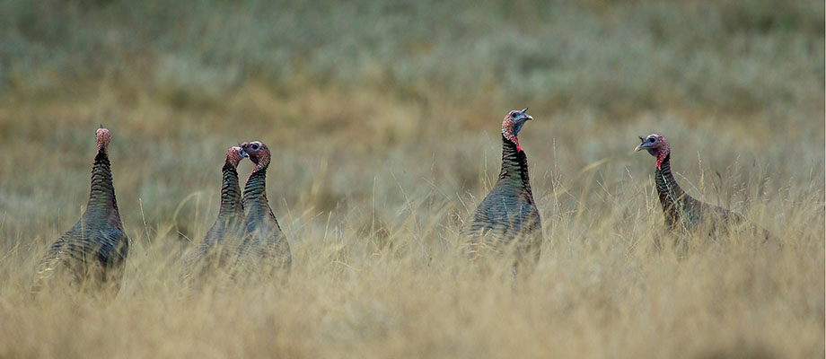 Wild turkeys keep a wary eye out for predators